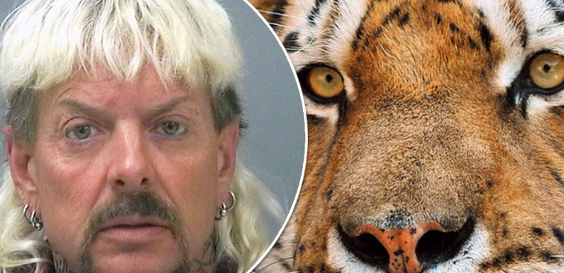 Tiger King Joe Exotic compared to Love Island star as Netflix legend's potential earnings after leaving jail are revealed